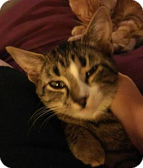 Domestic Shorthair Kitten for adoption in Middletown, Ohio - Katherine