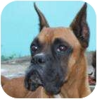 Boxer Dog for adoption in Sunderland, Massachusetts - Don Juan