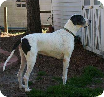 Great Dane Dog for adoption in Virginia Beach, Virginia - Toby