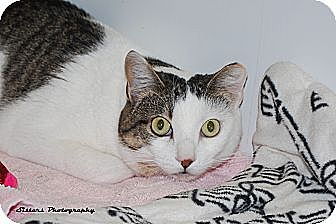 Domestic Shorthair Cat for adoption in Lincoln, Nebraska - Charisma