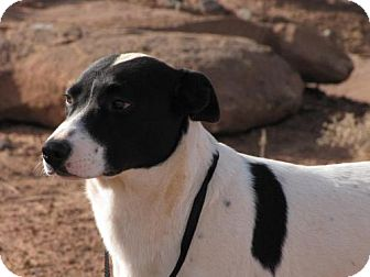 Labrador Retriever/Australian Cattle Dog Mix Dog for adoption in Roosevelt, Utah - Zorro
