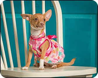 Chihuahua Dog for adoption in Owensboro, Kentucky - Rosie