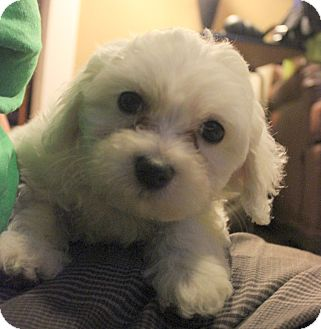 Maltese Mix Puppy for adoption in Chicago, Illinois - JIMMY