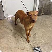 Adopt A Pet :: Honey - Roosevelt, UT