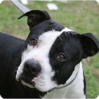 Adopt A Pet :: Tank - DFW, TX