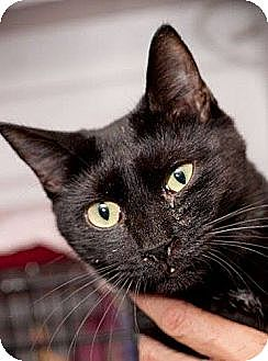 Domestic Shorthair Cat for adoption in Havana, Florida - Molly