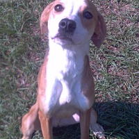 Adopt A Pet :: Benji - Williston, FL