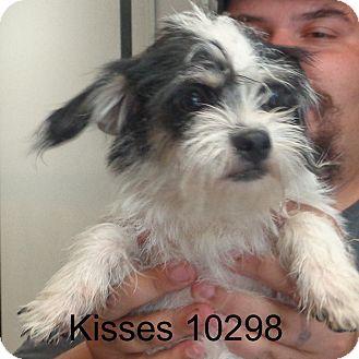 cairn terriershih tzu mix dog for adoption in brattleboro