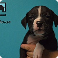 Adopt A Pet :: Milhouse - Chicago, IL