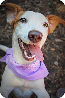 Jack Russell Terrier/Dachshund Mix Dog for adoption in Marietta, Georgia - Kaye