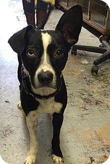 Boston Terrier/Chihuahua Mix Dog for adoption in La Verne, California - Wizard