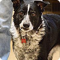 Adopt A Pet :: Cricket 105516 - Petaluma, CA