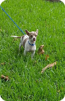 Dachshund/Chihuahua Mix Dog for adoption in Houston, Texas - ABBY