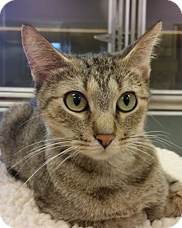 Domestic Shorthair Cat for adoption in Grayslake, Illinois - Robyn