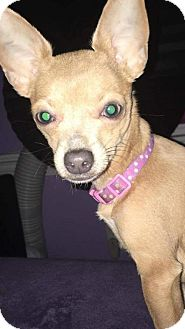 Chihuahua Dog for adoption in Florence, Kentucky - Prada *I only weigh 4 1/2 lbs!*