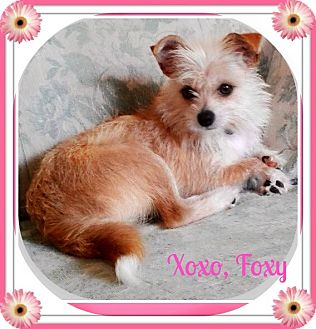 Cairn Terrier/Terrier (Unknown Type, Small) Mix Dog for adoption in Seattle, Washington - Foxy