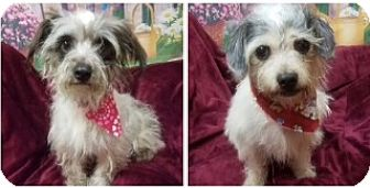 Yorkie, Yorkshire Terrier/Maltese Mix Dog for adoption in Fort Pierce, Florida - Krissy & Pirate