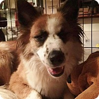 Border Collie/Australian Shepherd Mix Dog for adoption in Memphis, Tennessee - Ivy~Feral!
