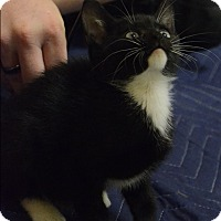 Domestic Shorthair Kitten for adoption in Mebane, North Carolina - Bennie