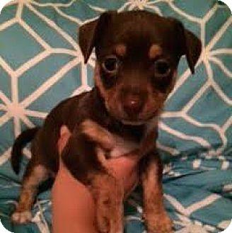 Terrier (Unknown Type, Medium) Mix Puppy for adoption in Austin, Texas - Caramel