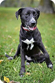 Labrador Retriever/German Shepherd Dog Mix Dog for adoption in Midland, Michigan - Mavis