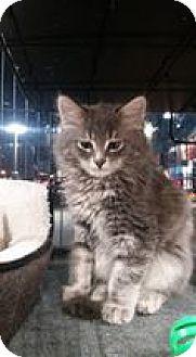 Domestic Mediumhair Kitten for adoption in THORNHILL, Ontario - Danish