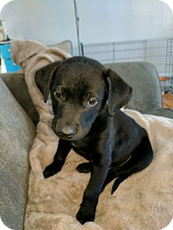 Labrador Retriever Mix Puppy for adoption in Fort Collins, Colorado - Gus (FORT COLLINS)