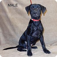 Adopt A Pet :: Avail11/29 Pen17 LabX 11wks 1Male Clic4Pics! - Sterling, MA