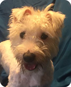 Westie, West Highland White Terrier/Poodle (Miniature) Mix Dog for adoption in San Leandro, California - Tobias