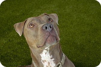 Staffordshire Bull Terrier Mix Dog for adoption in Van Nuys, California - Sassy