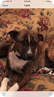 Boxer Mix Dog for adoption in Londonderry, New Hampshire - Macy