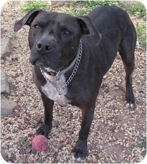American Staffordshire Terrier/Labrador Retriever Mix Dog for adoption in Toluca Lake, California - Charro