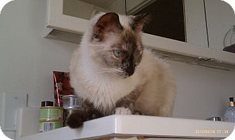 Siamese Cat for adoption in Morgan Hill, California - Gigi