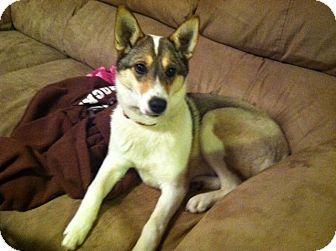 Husky/Corgi Mix Dog for adoption in Morgantown, West Virginia - Mally