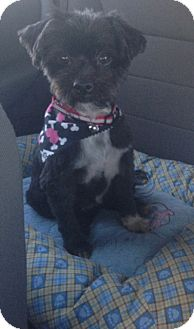 Shih Tzu Mix Dog for adoption in Oceanside, California - Maisy