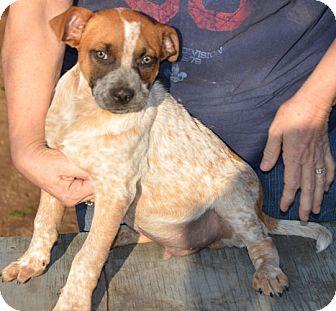 Red Heeler Boxer Mix Australian cattle dog/boxer