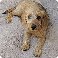 Adopt A Pet :: Sherry - La Habra Heights, CA