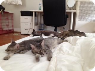 Domestic Shorthair Kitten for adoption in New York, New York - Ninja