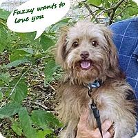 Adopt A Pet :: Fuzzy - Franklinton, NC