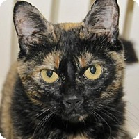 Domestic Shorthair Cat for adoption in Eastsound, Washington - Olivia