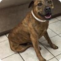 Adopt A Pet :: Bowser - Las Vegas, NV