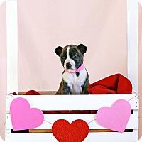 Adopt A Pet :: Rachel - Waldorf, MD