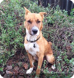 Shepherd (Unknown Type) Mix Dog for adoption in Sacramento, California - Sage!