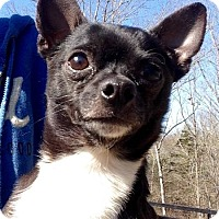 Chihuahua Dog for adoption in West Columbia, South Carolina - Howie