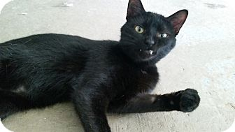 Domestic Shorthair Cat for adoption in Barrett, Minnesota - Benny