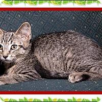 Adopt A Pet :: Cabo - Mt. Prospect, IL