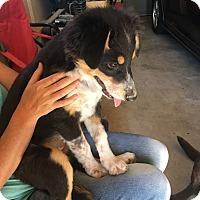 Adopt A Pet :: Charley - Ogden, UT
