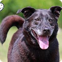 Spitz (Unknown Type, Medium)/Labrador Retriever Mix Dog for adoption in Lee's Summit, Missouri - Felix