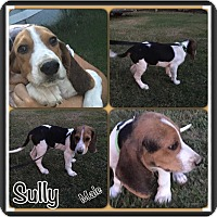 Adopt A Pet :: Sully in CT - Manchester, CT