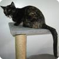 Domestic Shorthair Cat for adoption in Powell, Ohio - Cameo